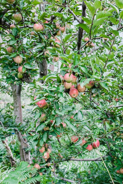 Äpfel aus Manali, Indien