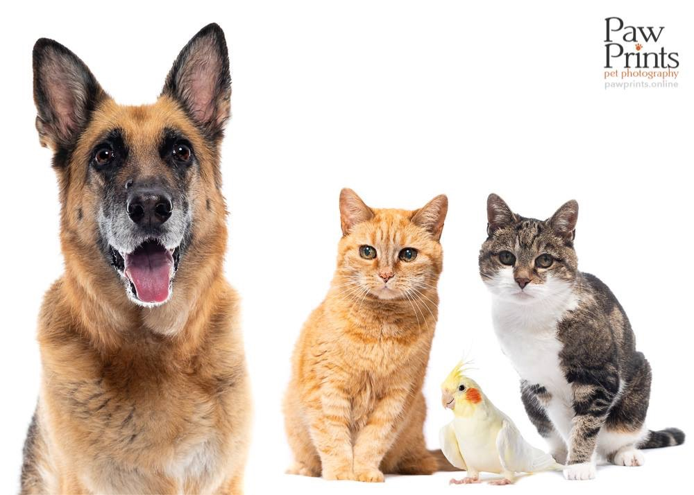 German Shepherd dog, two cats and a cockatiel