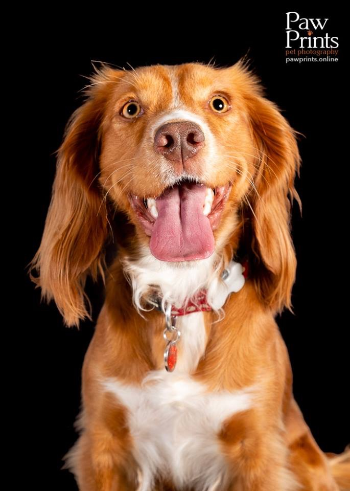 Cocker Spaniel dog photograph