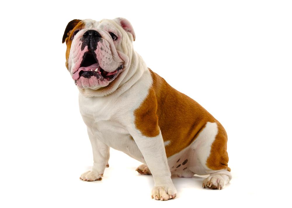 English Bulldog dog photograph