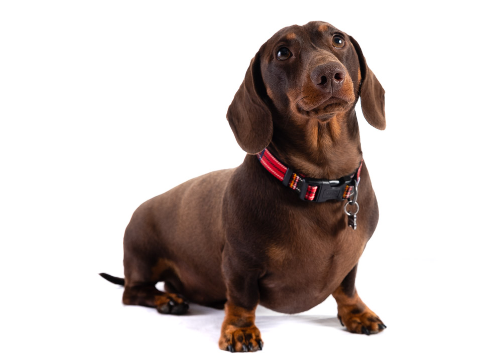 Dachshund dog photograph