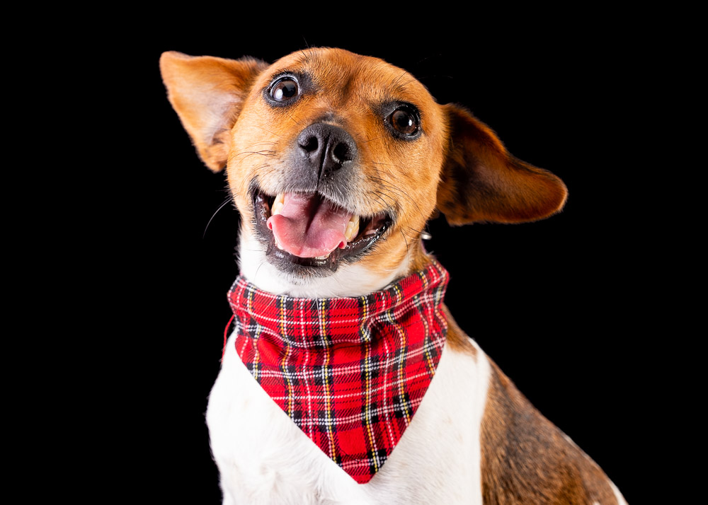 Jack Russell dog photograph