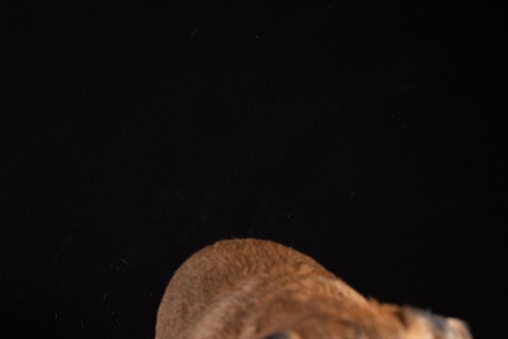 Border Terrier before.jpg