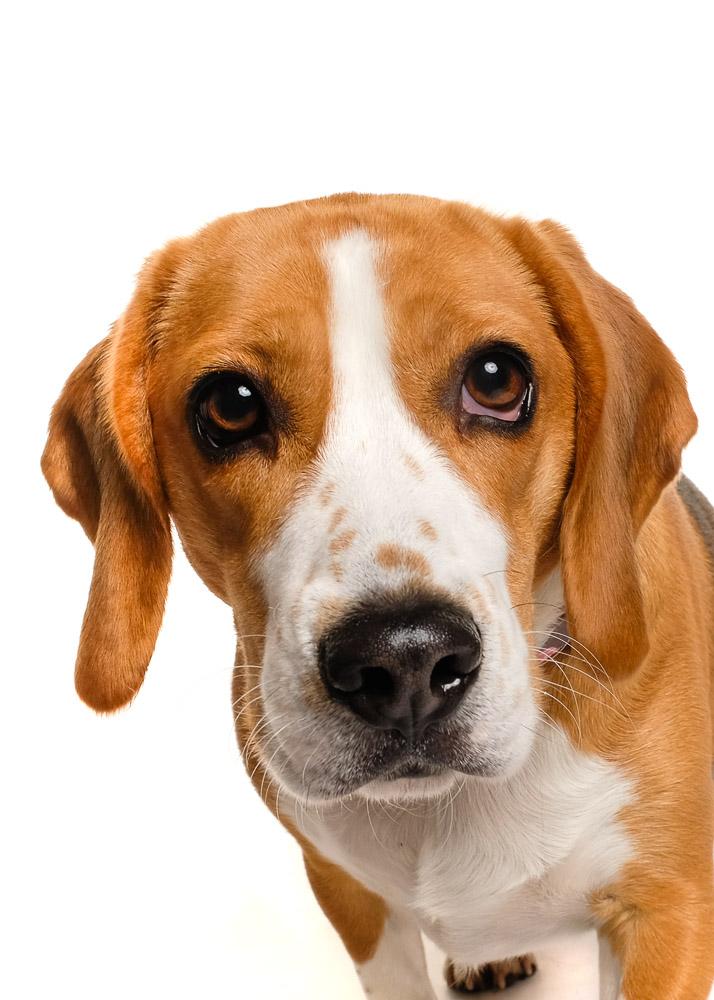 Beagle dog photo