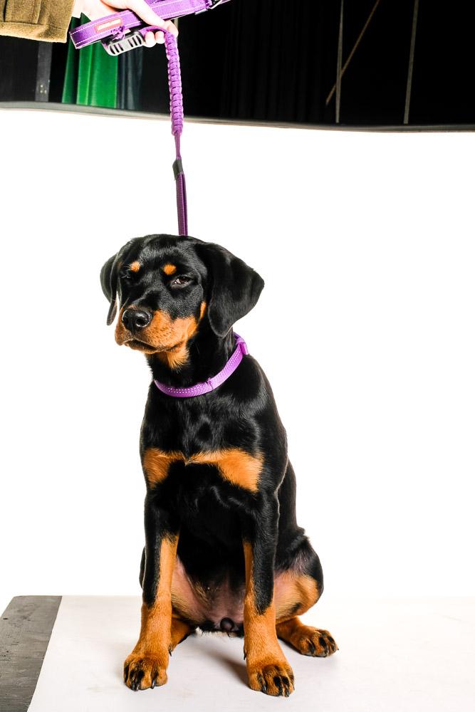 Rottweiler puppy dog photograph