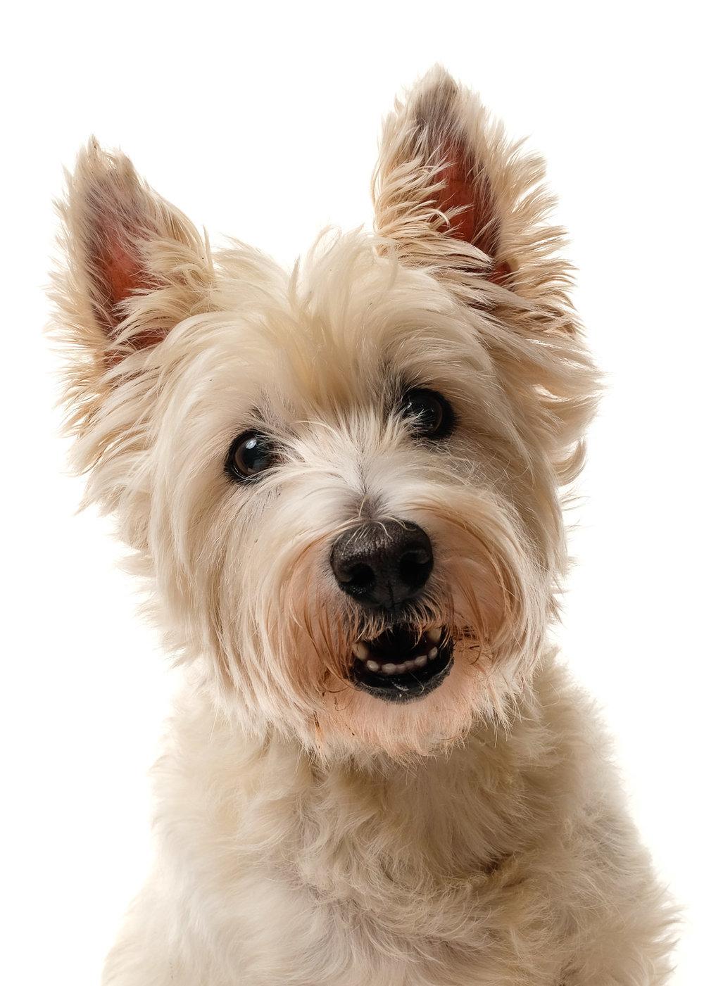 West Highland Terrier Westie dog photograph