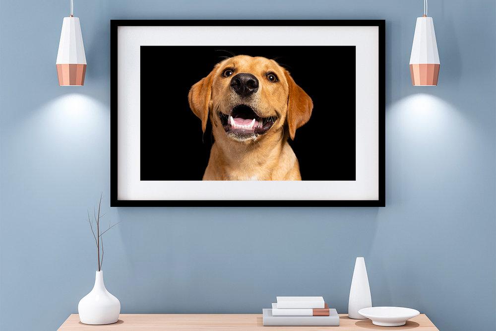Contemporary room set with Labrador dog photography wall art