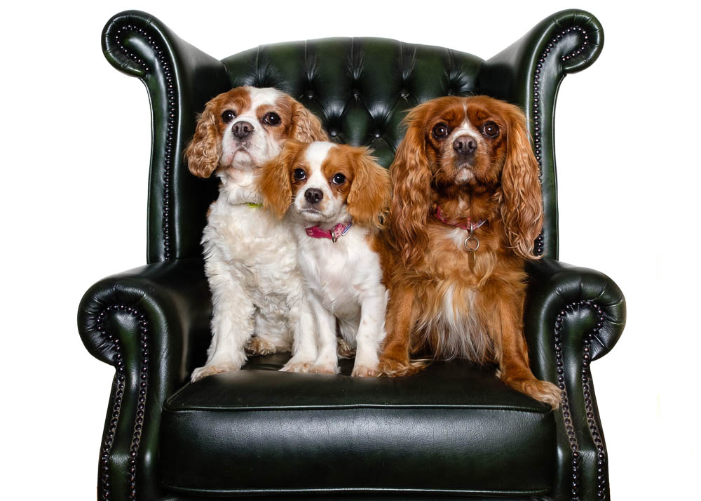 Three Cavalier King Charles Spaniels in a leather armchair