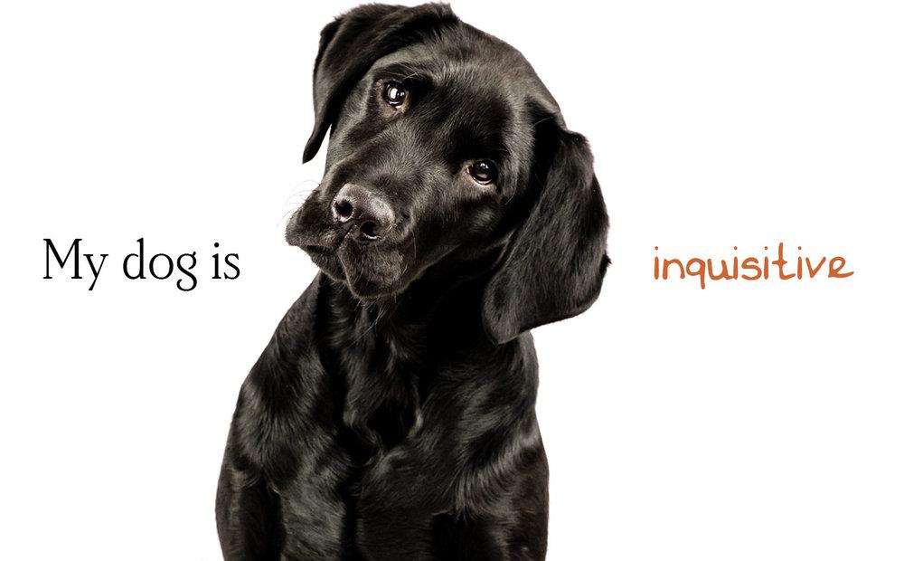Black Labrador dog photo