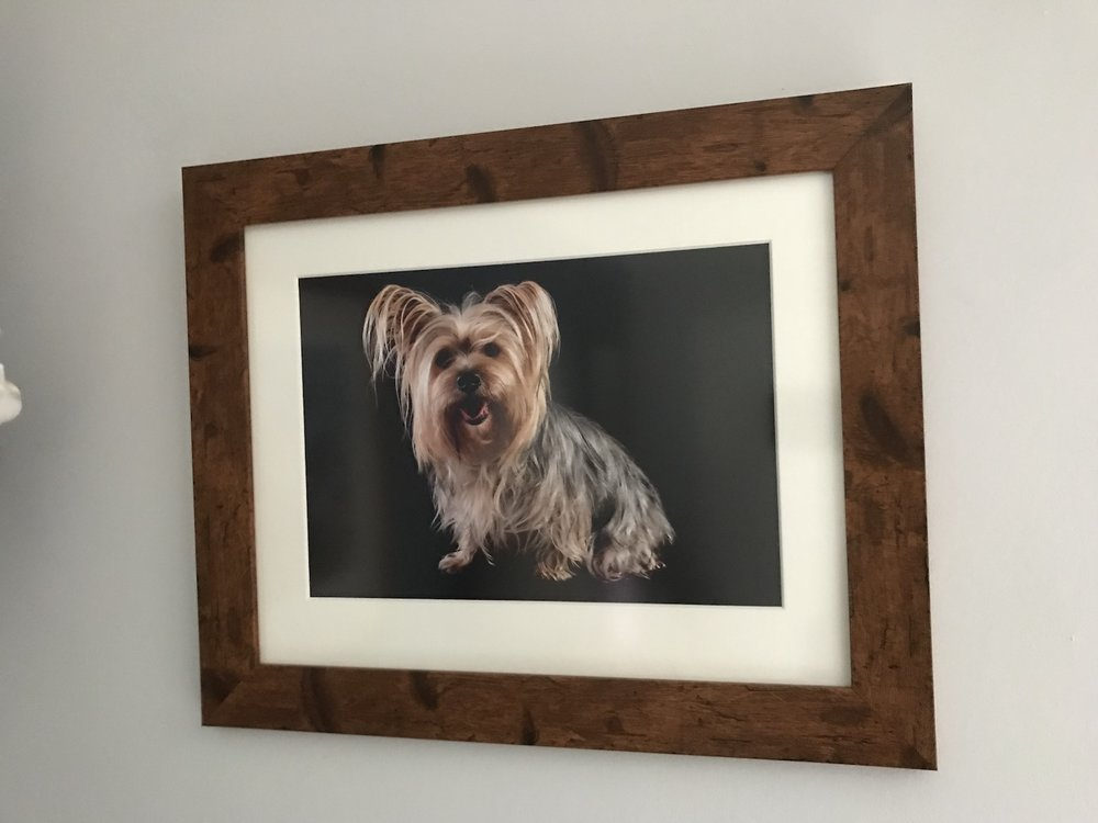 Yorkshire Terrier pet photography