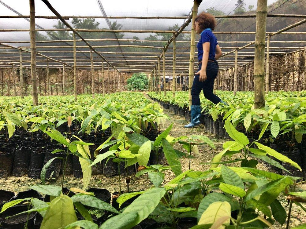 Cacao seedlings (3).jpg