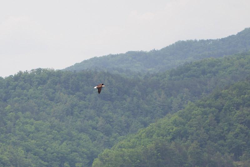 Virginia wedding photography of a bald eagle
