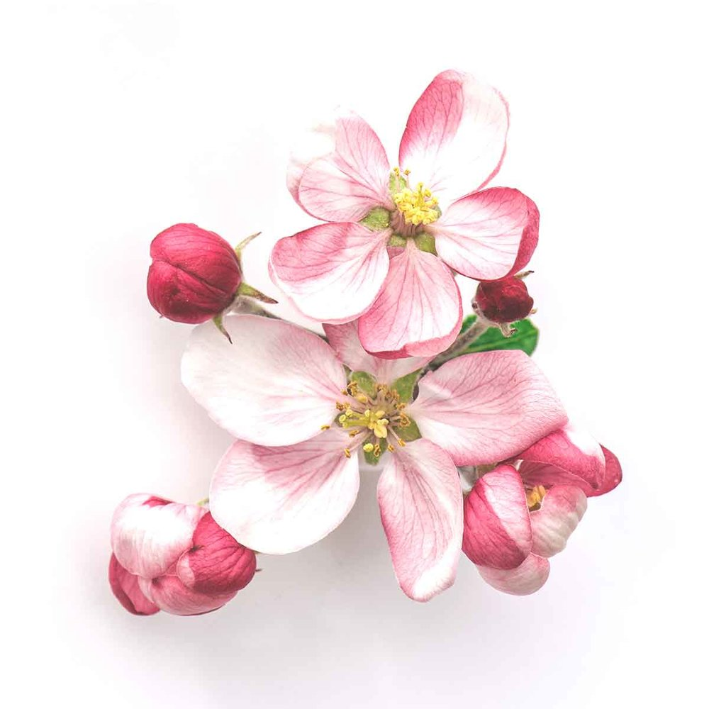 Sleep contains botanical extracts found in apple blossoms, for a sweet and flowery flavor. -