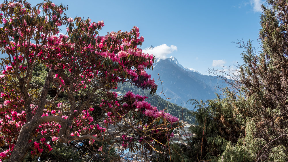 Rhododendron, the national flower of Nepal in bloom, Khumbu Region, Nepal.