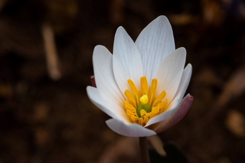 Bloodroot ( Sanguinaria canadensis ), taken with Nikon AF-S VR Micro-NIKKOR 105mm f/2.8G IF-ED lens on a D750 body
