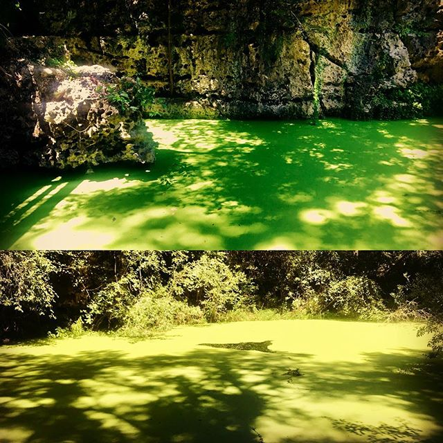 This weekend at #peacocksprings diving the #orangegrove #cave. The duck weed covers the entire spring. Great way to end a weekend cave trip.  #caves #cavediving #scuba #scubadiving #diving #florida #utd #unifiedteamdiving #weekend #floridacaves #floridacavediving #fun #weekends #park #parks