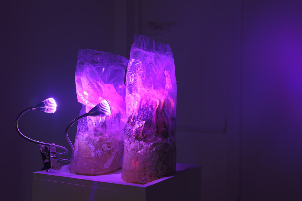 thesis-reishi mushroom kit, led grow light.JPG