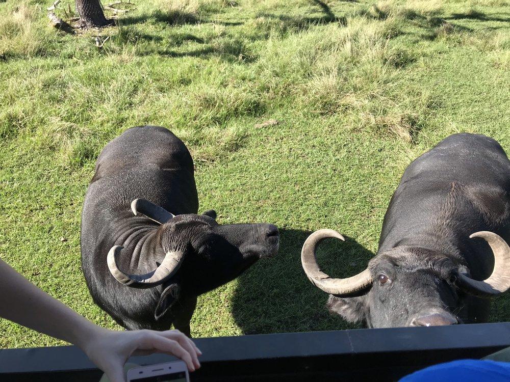 Búfalos D'Água - alimentamos essas fêmeas simpaticíssimas que comem os snacks e vão embora!