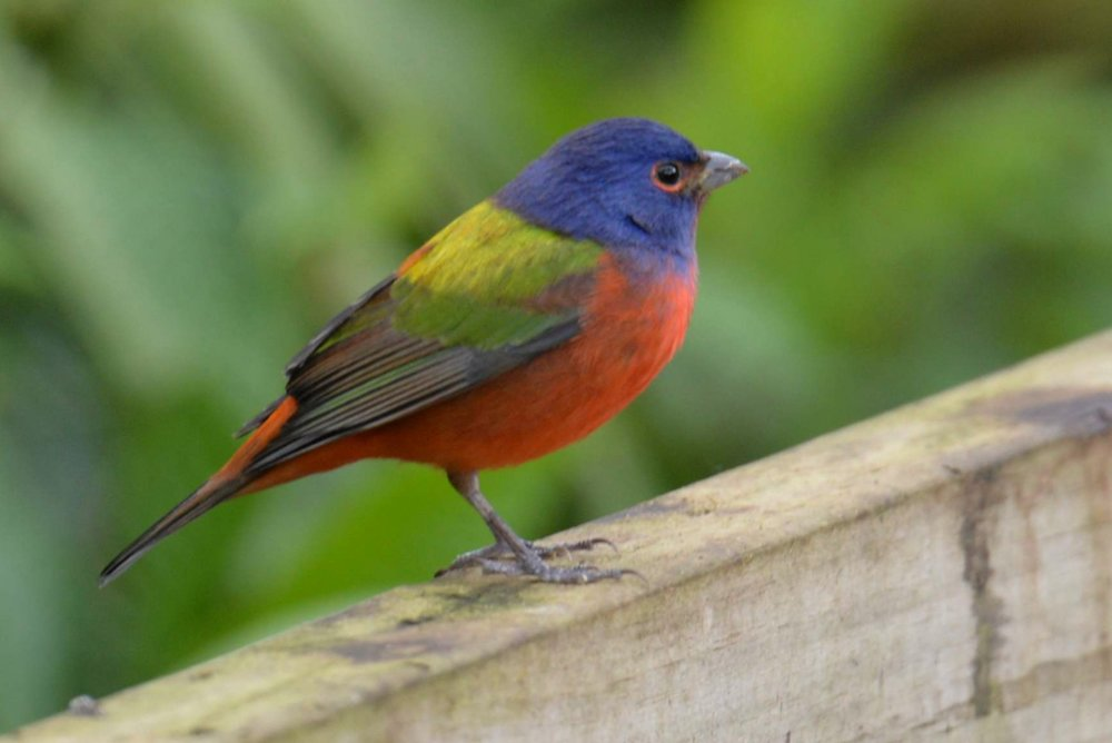Birdwatching 00009 - Painted Bunting.jpg