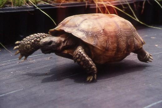Gopher Tortoise rescue.jpg