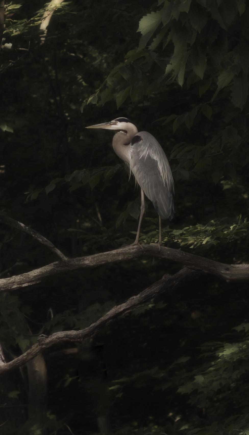 Blue Heron sitting on branch along Cheaspeake Bay.