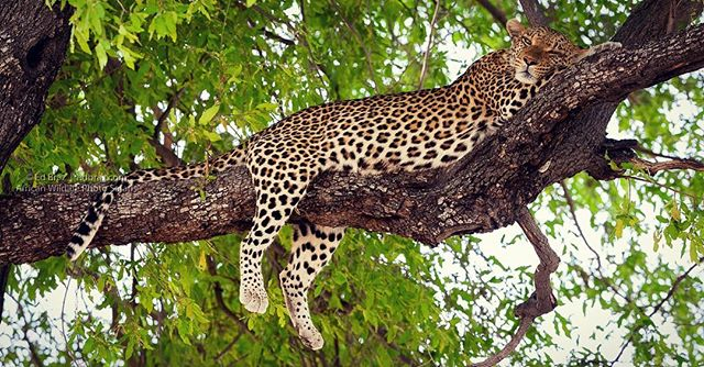 In glorious afternoon light, this leopard rests up high on a branch at the end of the day. Now what could he be dreaming about? • Give me your thoughts in the comments.  #leopard #adventuretravel #africa #botswana #wildlife #wildlifephotography #natgeo #wildography