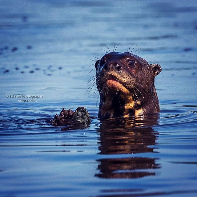 A giant river otter looks surprised at being found with an armored catfish ready for an afternoon snack. These carnivorous mammals seem to have boundless supplies of energy and can pop up curiously at any time in the middle of the river. Join me on my next safari - August 2019. . . . #brazil #brasil #otter #wildlife #pantanal #naturephotography #wildlifesafari #edbrazphotography