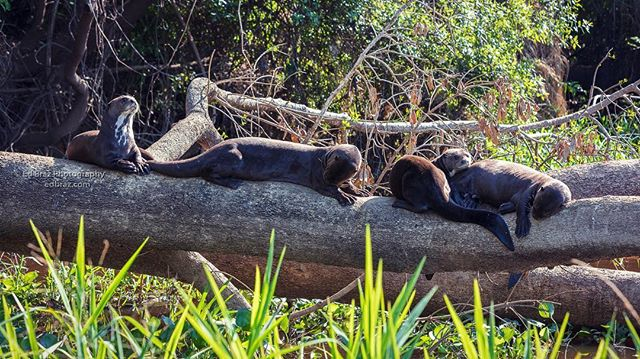 Giant River Otters are very divisible animals and can be found lazing about near water or actively seeking food. . . . #brazil #brasil #otter #wildlife #pantanal #naturephotography #wildlifesafari #edbrazphotography