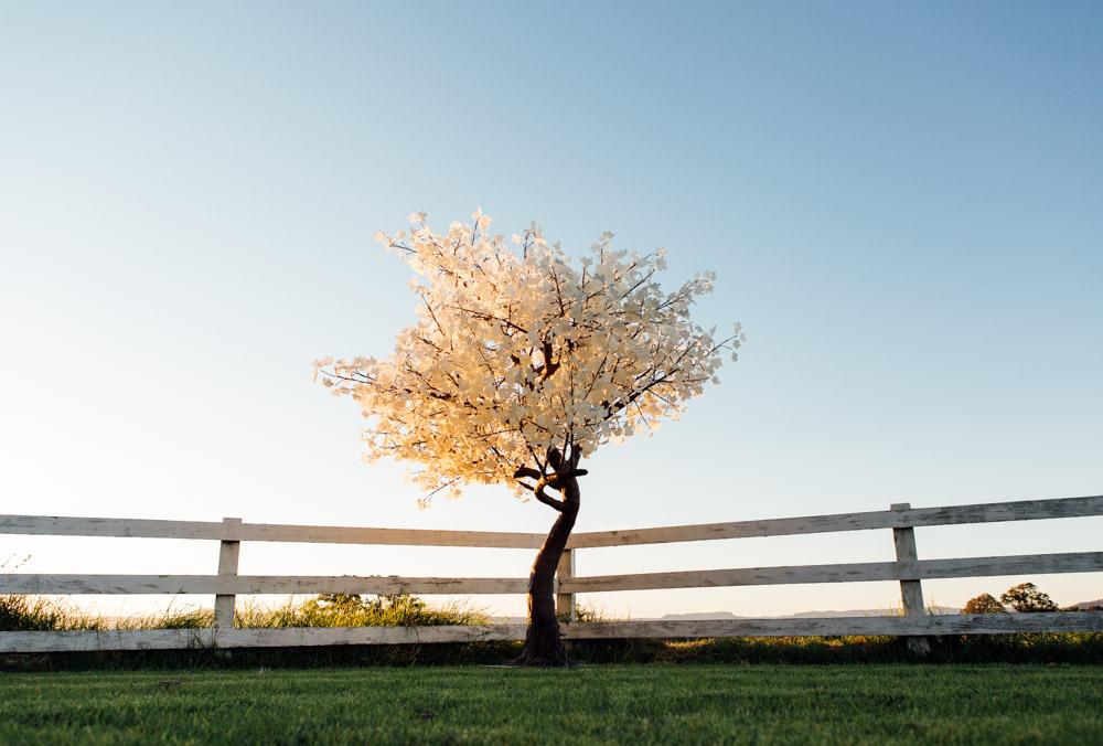 Buy Maple Trees  -