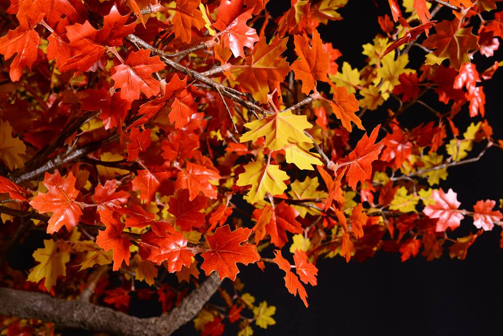"Fall to Spring ""Acer rubrum,"" the red maple, also known as swamp, water or soft maple, is one of the most common and widespread deciduous trees of eastern and central North America. Warm white lights"