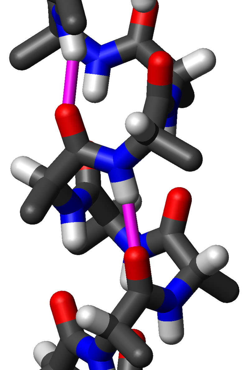 Side view of an α-helix of  alanine  residues in  atomic  detail. Two hydrogen bonds for the same peptide group are highlighted in magenta; the H to O distance is about 2 Å (0.20 nm). The  protein  chain runs upward here; that is, its N-terminus is at the bottom and its C-terminus at the top. Note that the sidechains (black stubs) angle slightly downward, toward the N-terminus, while the peptide oxygens (red) point up and the peptide NHs (blue with grey stubs) point down.