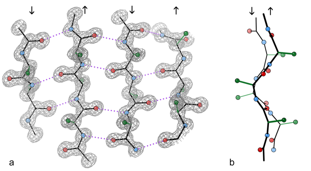 An example of a 4-stranded  antiparallel  β-sheet fragment from a crystal structure of the enzyme  catalase  ( PDB  file 1GWE at 0.88 Å resolution). a) Front view, showing the antiparallel hydrogen bonds (dotted) between peptide NH and CO groups on adjacent strands. Arrows indicate chain direction, and electron density contours outline the non-hydrogen atoms. Oxygen atoms are red balls, nitrogen atoms are blue, and hydrogen atoms are omitted for simplicity; sidechains are shown only out to the first sidechain carbon atom (green). b) Edge-on view of the central two β-strands in a, showing the righthanded  twist  and the  pleat  of Cαs and sidechains that alternately stick out in opposite directions from the sheet.  Wikipedia