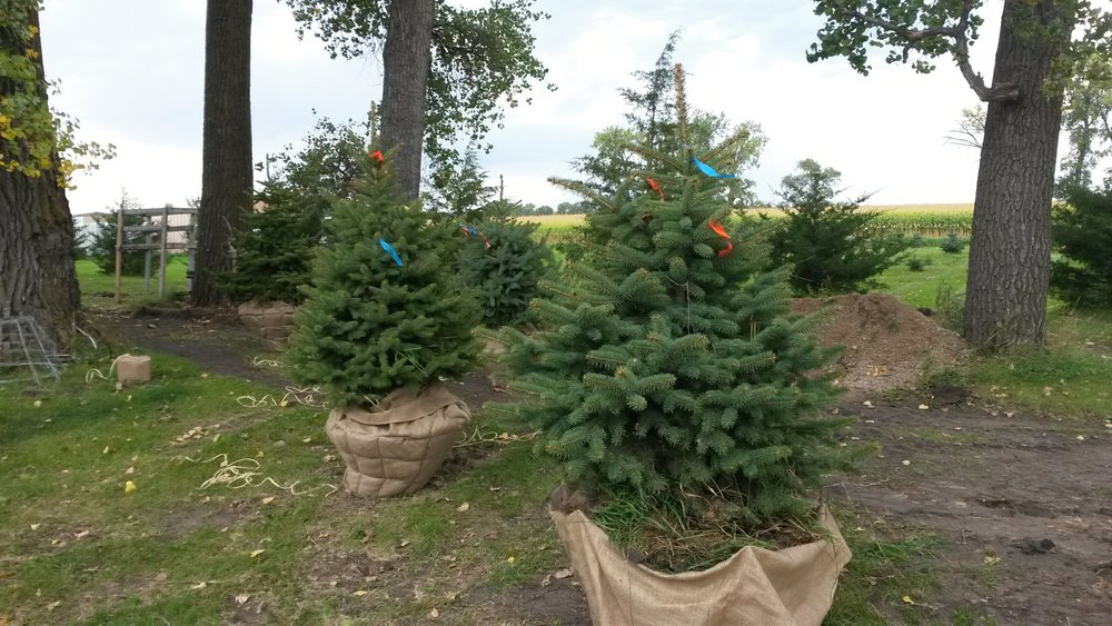 Colorado Blue Spruce 8.jpg