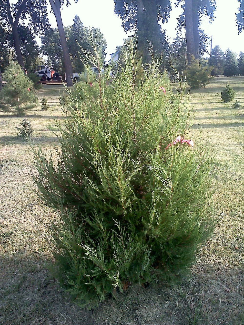 Rocky Mountain Junipers 11.jpg