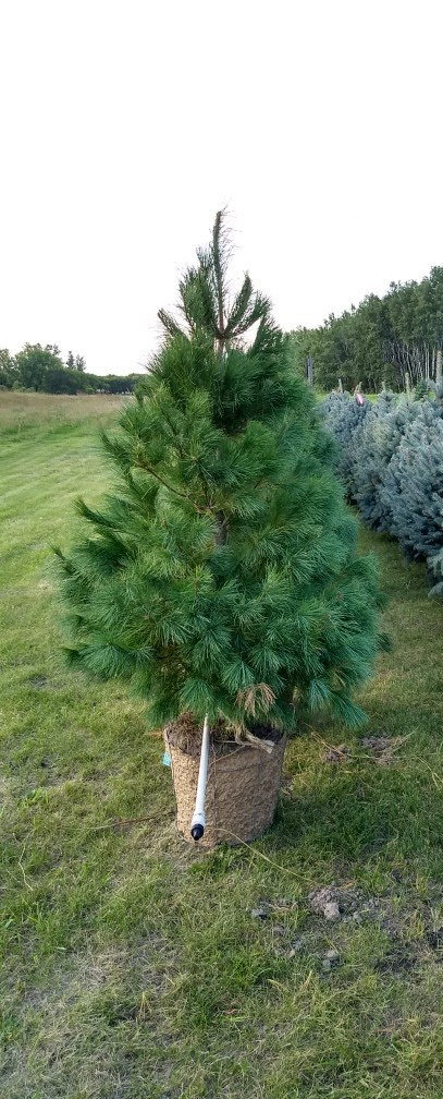 White Pine 1.jpg