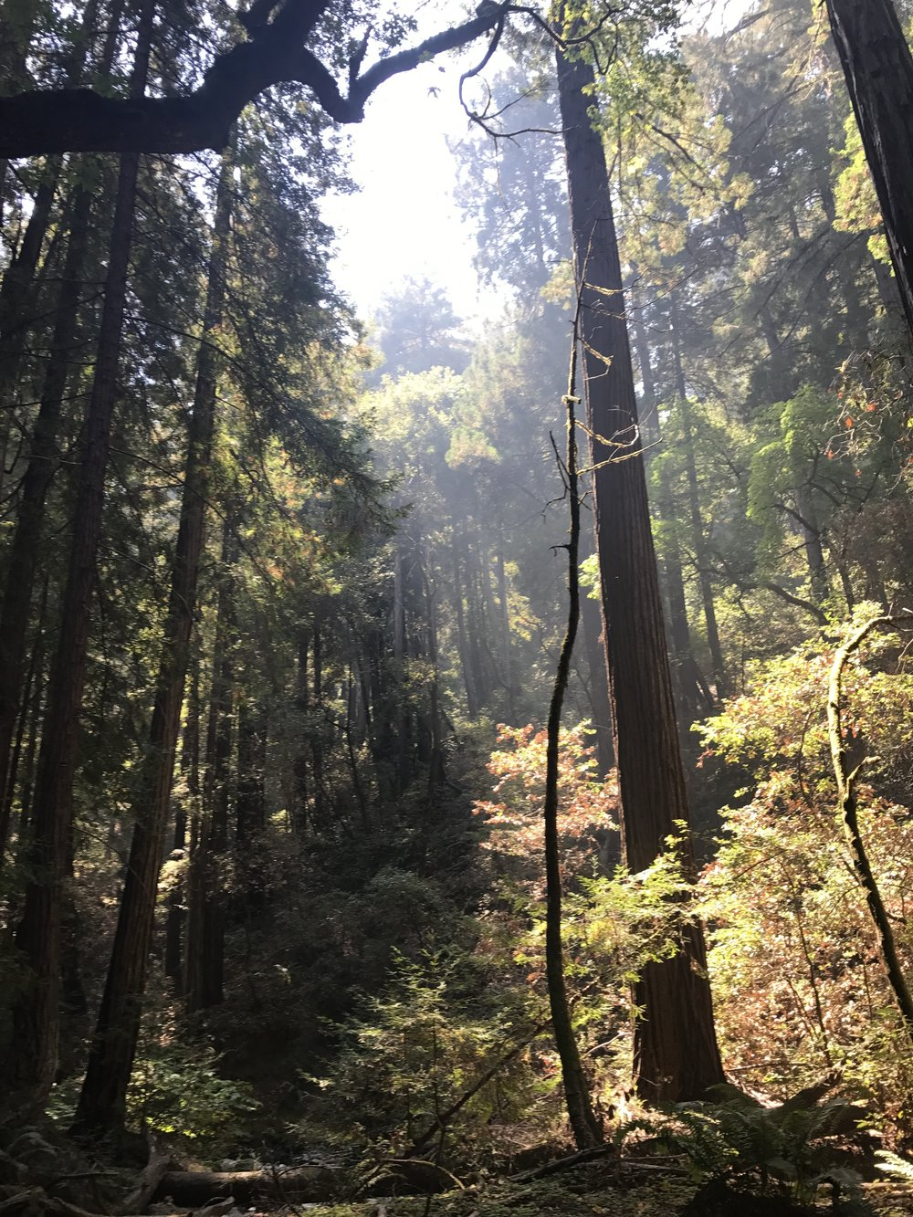 Redwood Trees on Mt. Tamalpias, CA