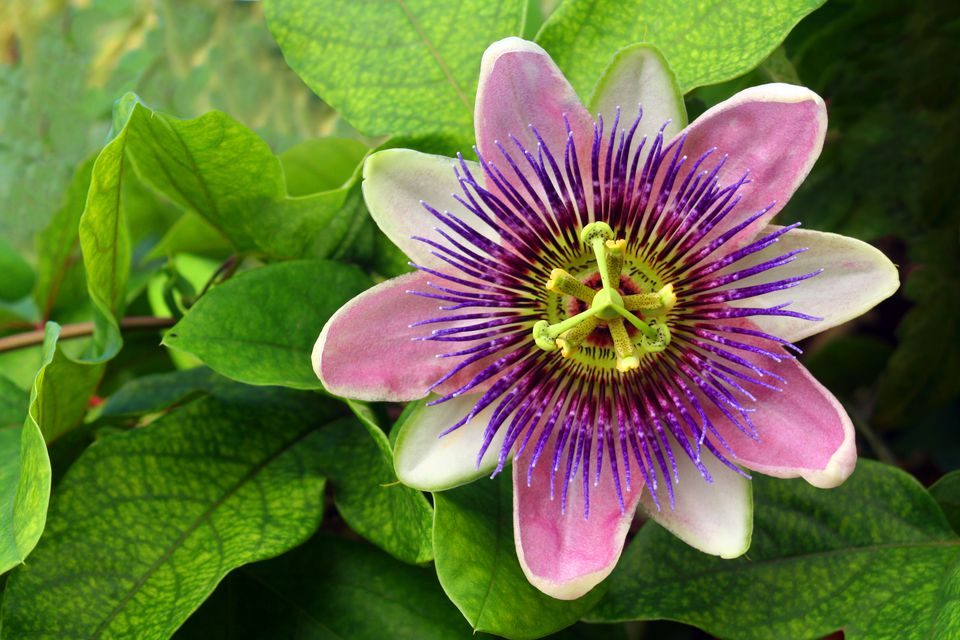 purple-passion-flower-and-green-leaves-157305531-58738f6a3df78c17b6a45ba9.jpg