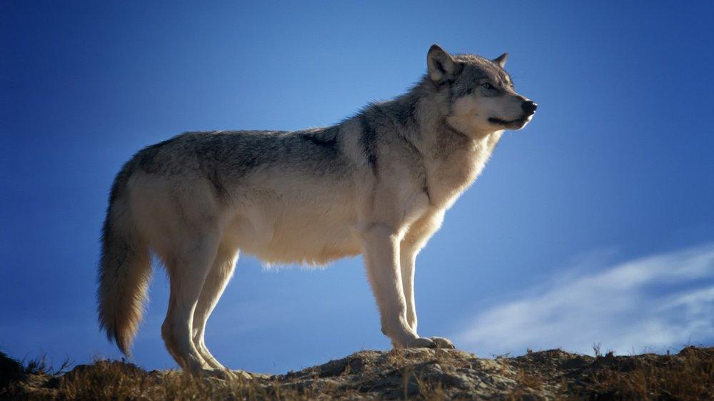 wolf-142173.jpg