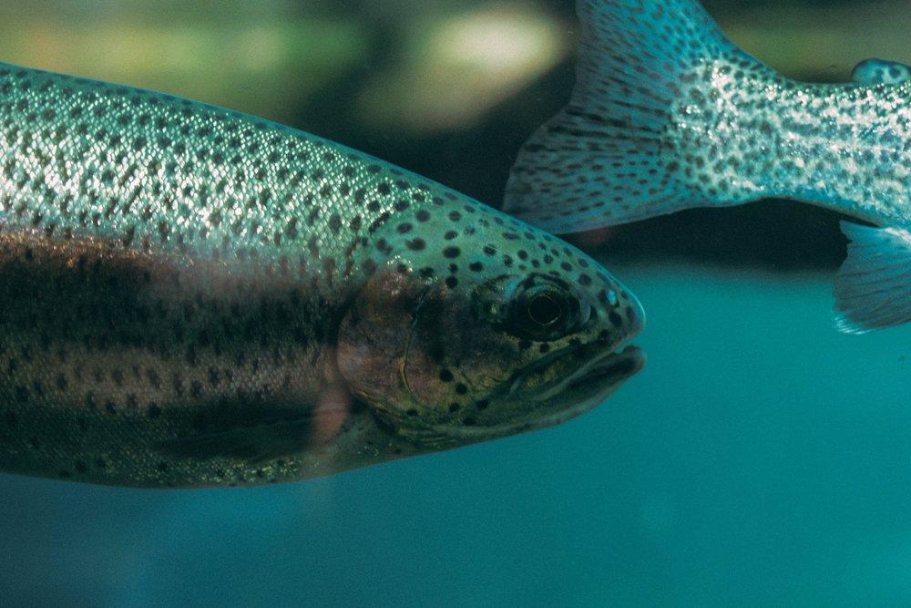 中國號稱研究出「淡水品種」的鮭魚。圖片來源:Chris Bair/Unsplash