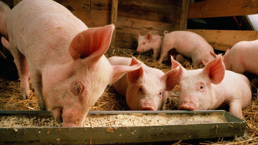 中國豬瘟疫情愈來愈嚴重。圖片來源:中國環球電視網