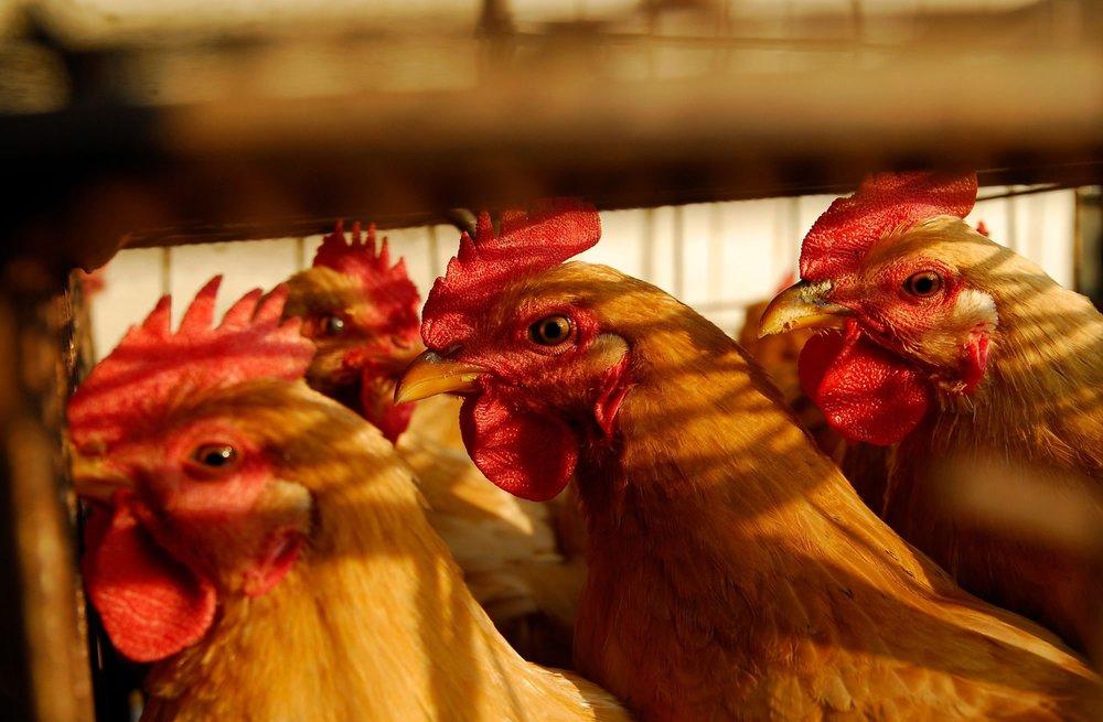 中國禽流感疫情大爆發。圖片來源:視覺中國