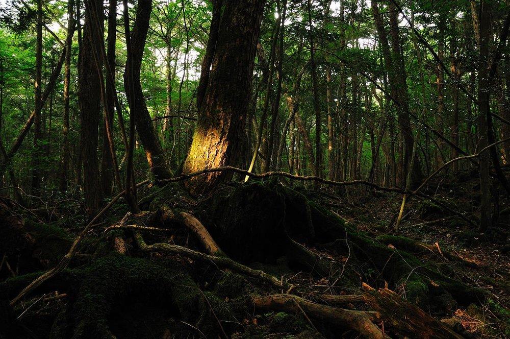 青木原樹海。圖片來源:維基共享資源