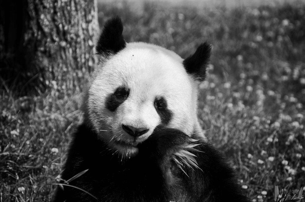 已故英相柴契爾曾嚴正拒絕「貓熊外交」。攝:Stephane Yaich/Unsplash