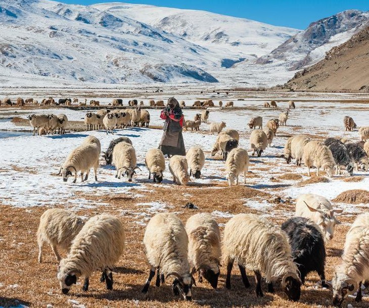 Changthang region sheep and goats.jpg