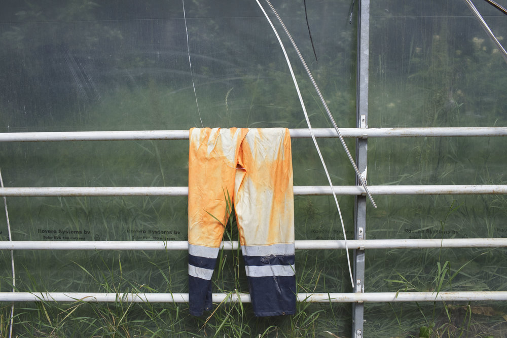 A pair of work pants hangs in a greenhouse where strawberries are grown, Fludir