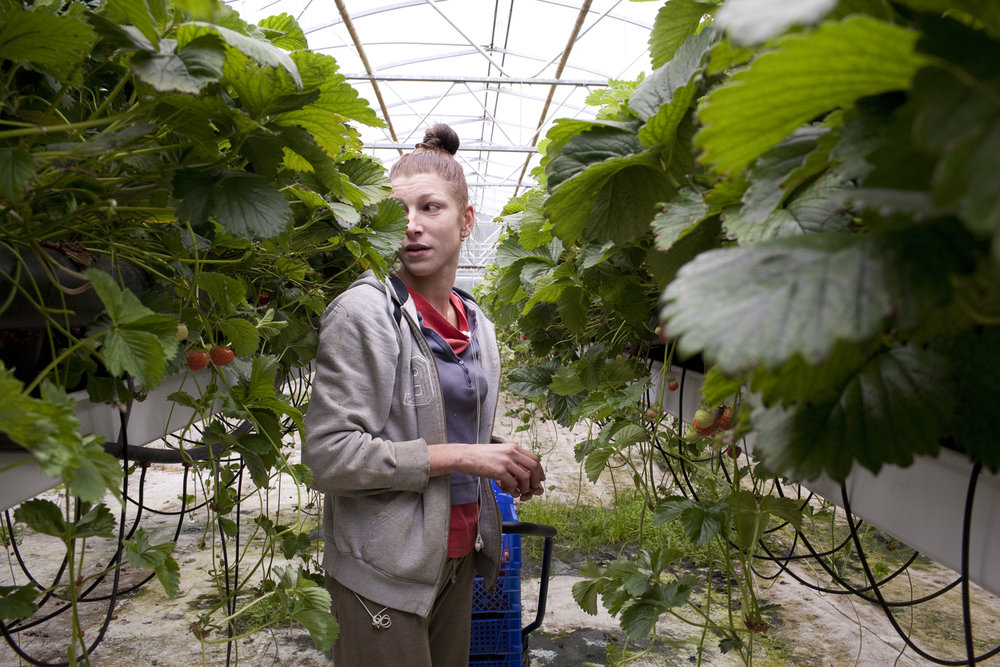 Sophie, a hungarian, picks strawberries at the greenhouse in Fludir. It is common for immigrants from European countries to work in these jobs. She says she will return to Hungary soon.