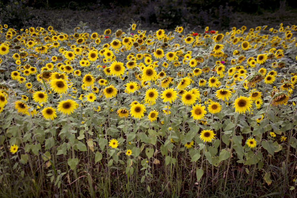 Harlan_sunflowers copy.jpg