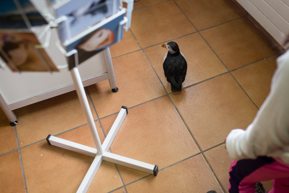 A puffin walks through the gift shop at the Sæheimar Aquarium in the Westman Islands.