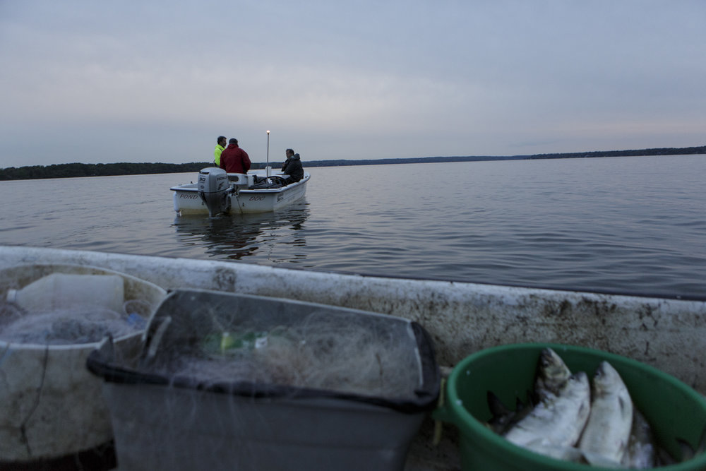 As part of an educational restocking program, Each spring, biologists, watermen , and environmental educators catch American shad in the Potomac, extract their eggs, and fertilize them.