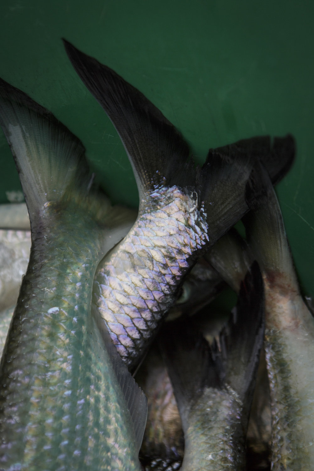 American shad are known for their shiny, reflective scales. Here, the fish have been collected for the restocking program.